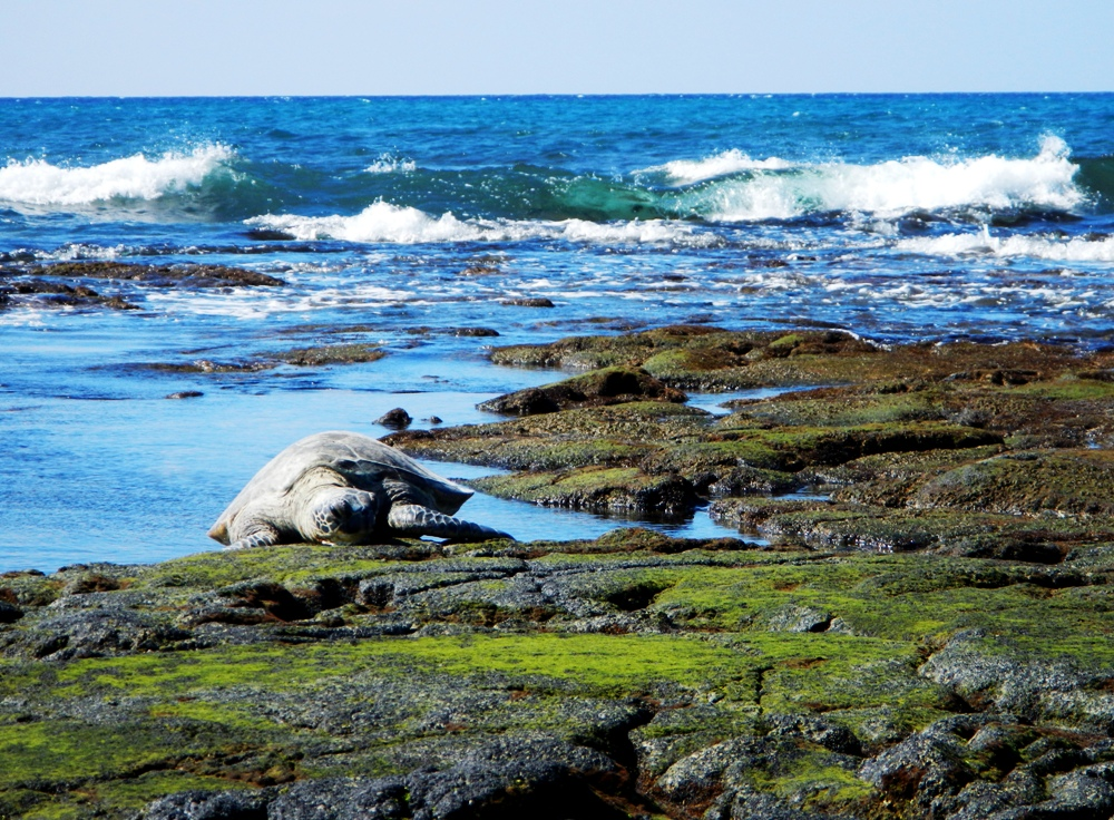 ai-opio beach turtle