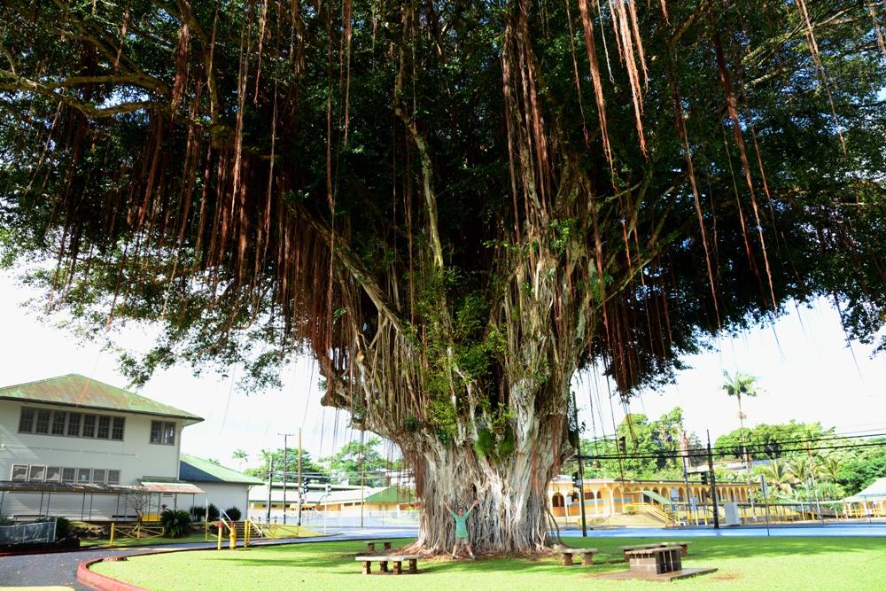 Hilo Trees