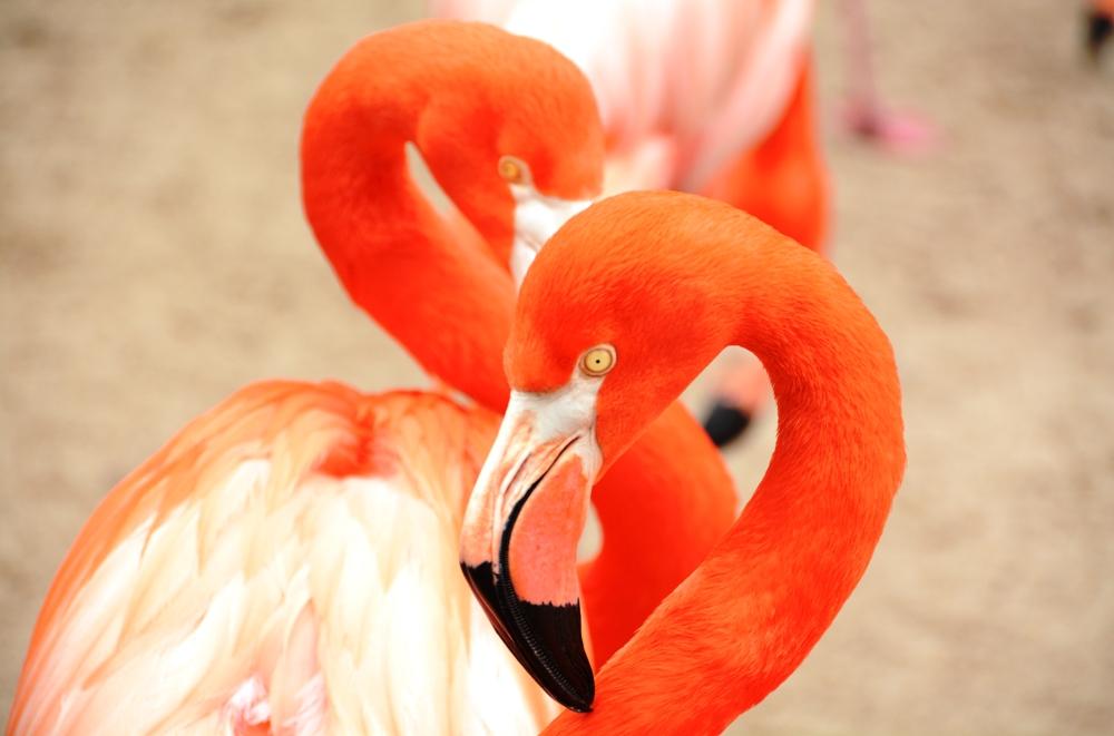 SD Zoo Flamingo